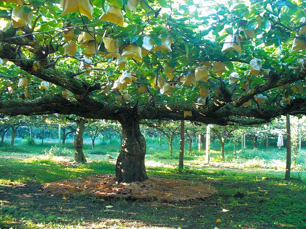 開園明治43年からの新高梨の老巨木の写真